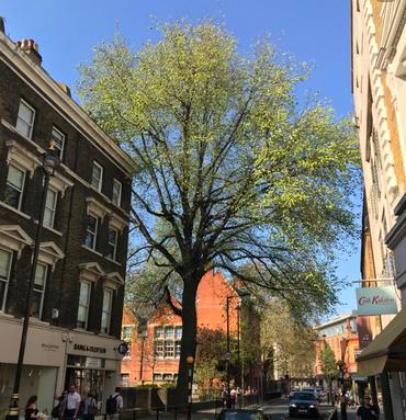 Marylebone Elm
