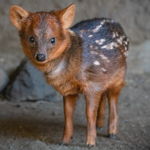 A baby pudu